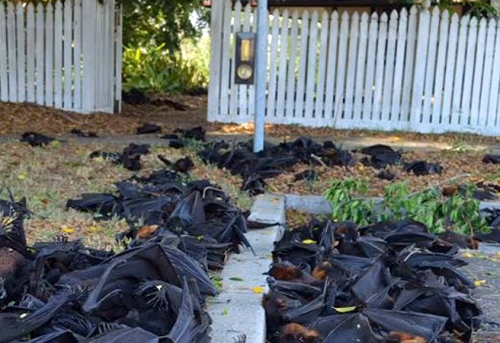 O moarte ciudată a cuprins liliecii din Australia